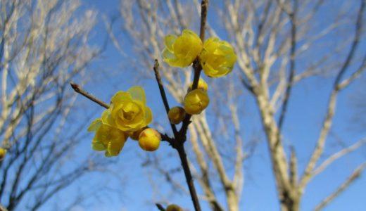 ロウバイ(蝋梅)の季節